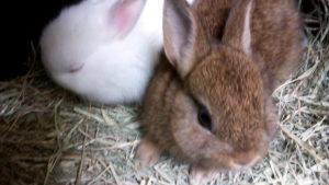 祖先はアナウサギ