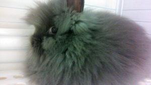 ライオンヘッドの子ウサギ