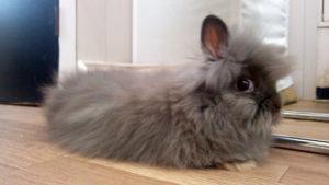 長毛種子ウサギ
