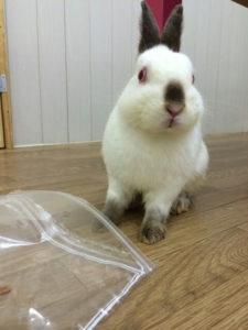 うさぎほいほい☆にかかったカボス7