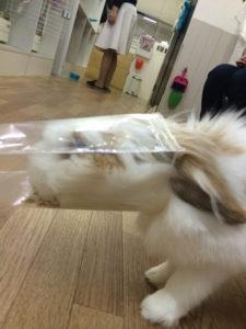 うさぎほいほい☆にかかったカボス8