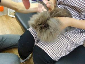 ちょこ(純血ライオンヘッド)の前髪cut→チューバッカの座を狙う!2