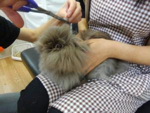 ちょこ(純血ライオンヘッド)の前髪cut→チューバッカの座を狙う!4