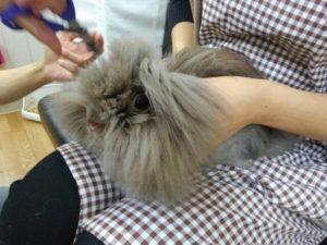 ちょこ(純血ライオンヘッド)の前髪cut→チューバッカの座を狙う!3