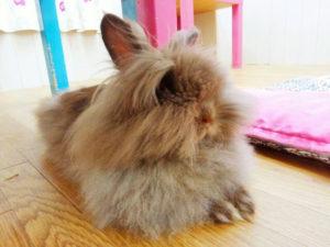 ちょこ(純血ライオンヘッド)の前髪cut→チューバッカの座を狙う!1