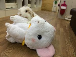 ナキウサギにも順位づけするたま☆2