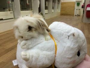 ナキウサギにも順位づけするたま☆3