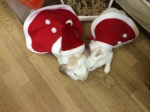 クリスマスの奇跡☆ミッシュちゃん牧草を食べる!!(゜ロ゜ノ)ノ10