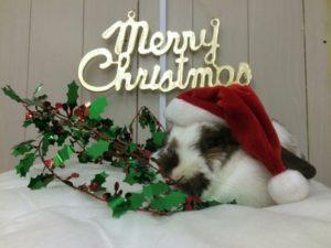 クリスマスの奇跡☆ミッシュちゃん牧草を食べる!!(゜ロ゜ノ)ノ1
