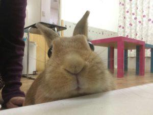 アナウサギ1