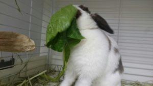 おおきな小松菜にうさぎたちは大興奮?3
