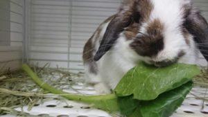 おおきな小松菜にうさぎたちは大興奮?4