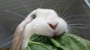 おおきな小松菜にうさぎたちは大興奮?9