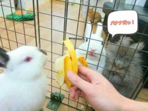 うさぎさんにバナナが見つかったらたいへん!…同伴うさぎさんのたまご君1