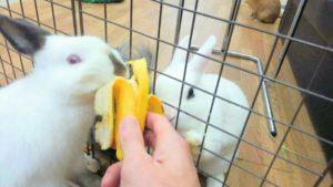 うさぎさんにバナナが見つかったらたいへん!…同伴うさぎさんのたまご君4