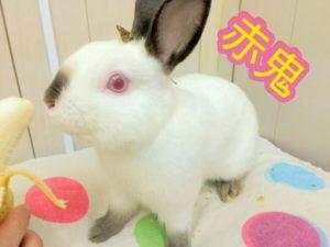 節分の赤鬼うさぎと青鬼うさぎ☆…うさぎホテル1