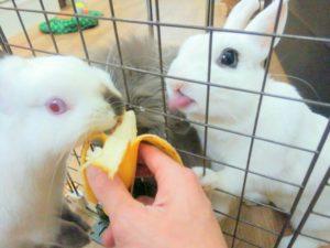 うさぎさんにバナナが見つかったらたいへん!…同伴うさぎさんのたまご君3