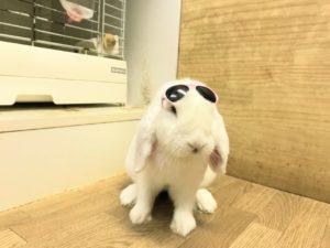 紫外線には、うさぎサングラス?3